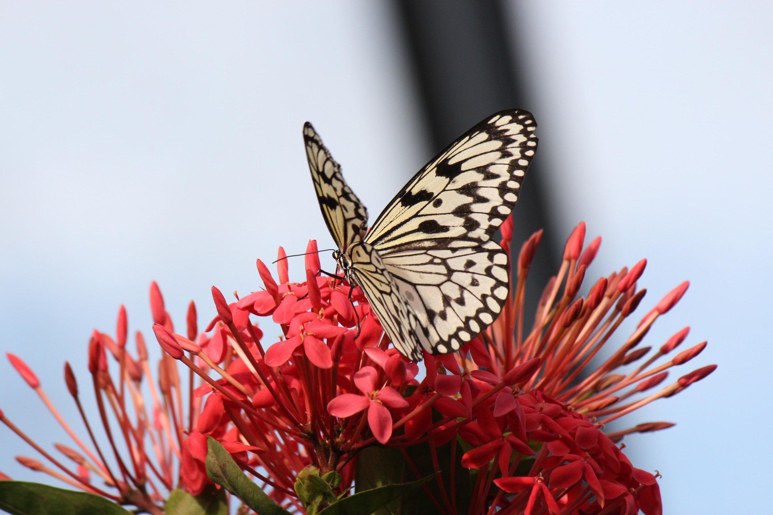 white butterfly.JPG