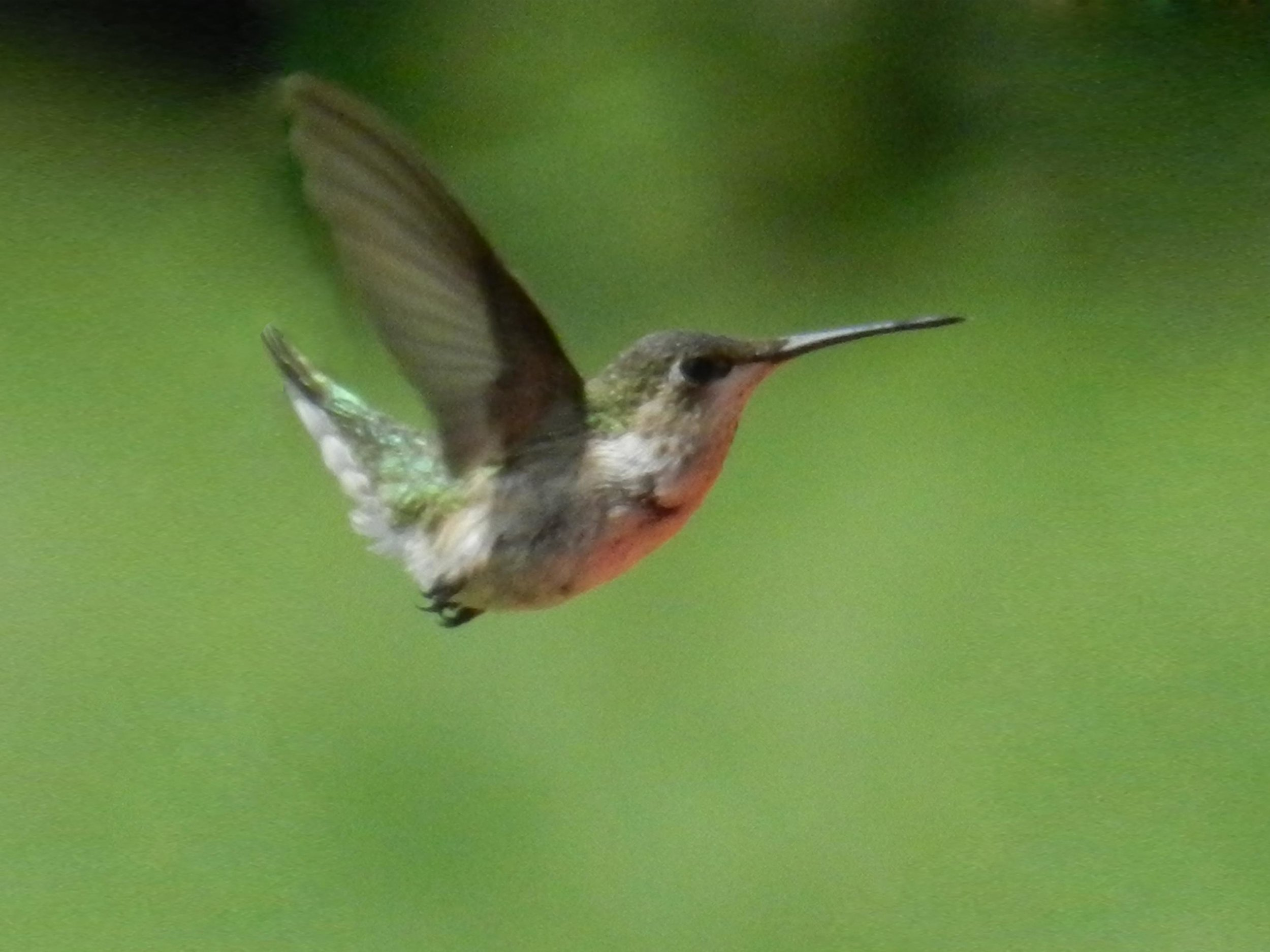hummingbird young.jpg
