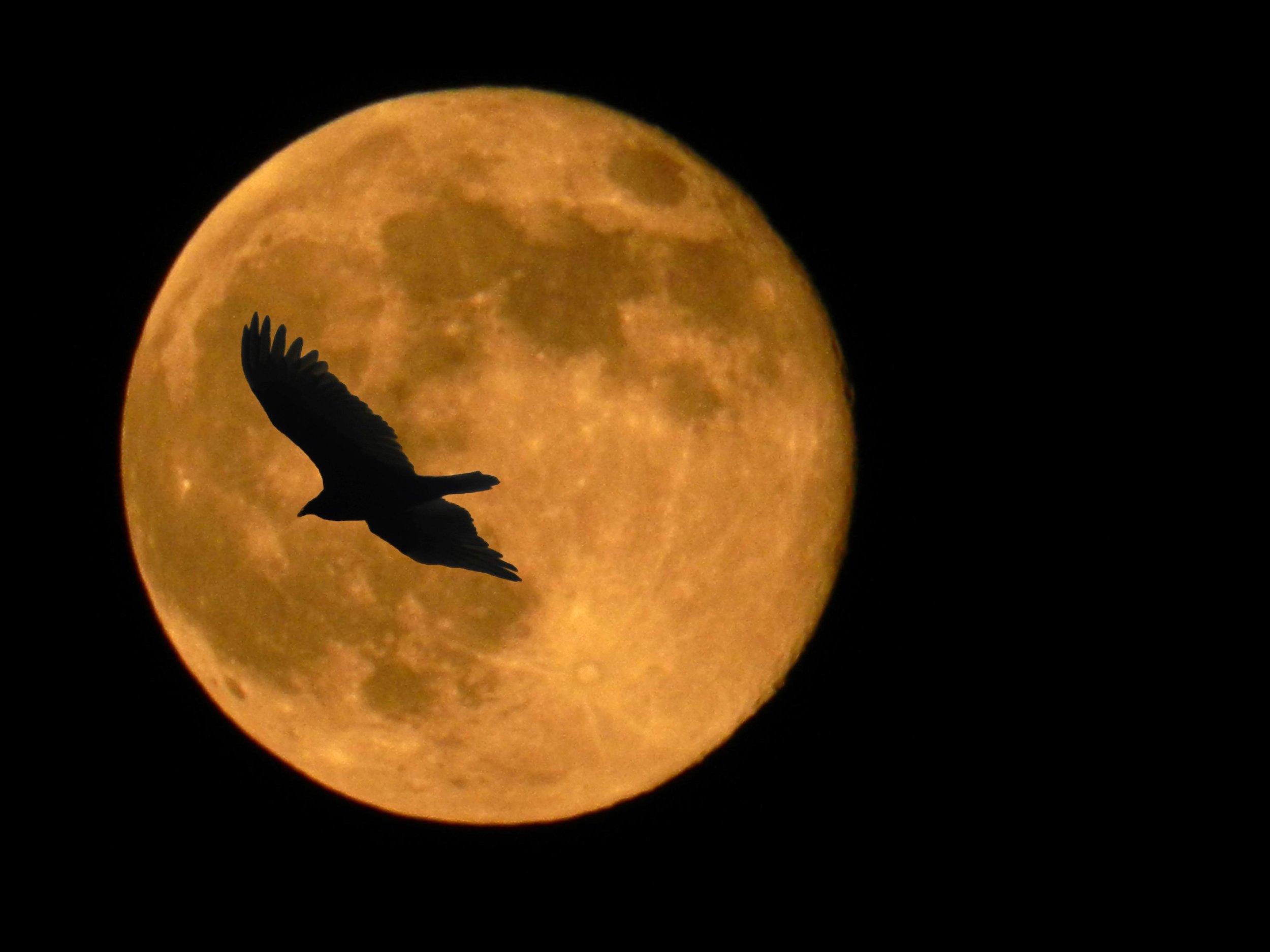 hawk moon.jpg
