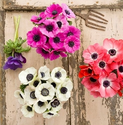 Anemone  - Colorful, delicate blooms. Available January - May.