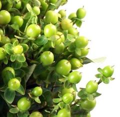Hypercum Berries
