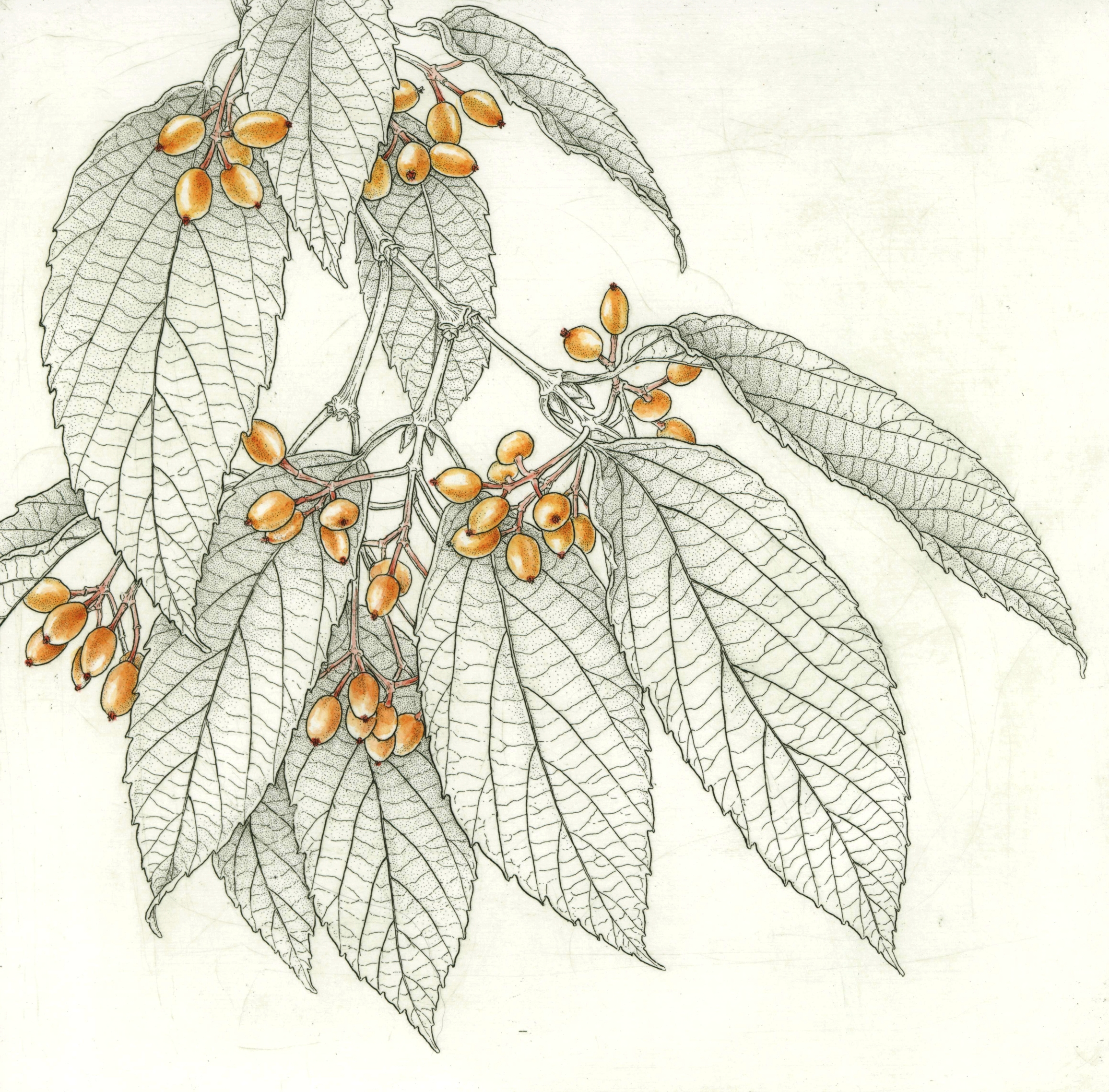 "Tea Viburnum .  Viburnum setigerum -  hand-colored copper etching 8"" x 8"""