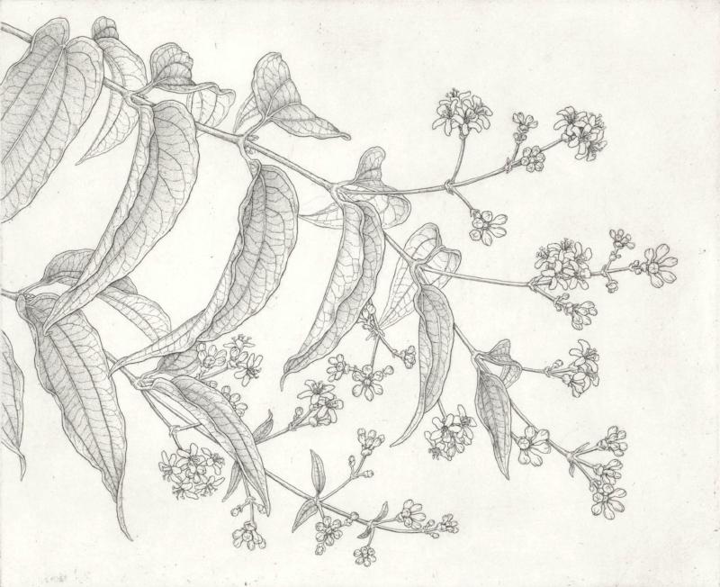 Seven Sons Flower.
