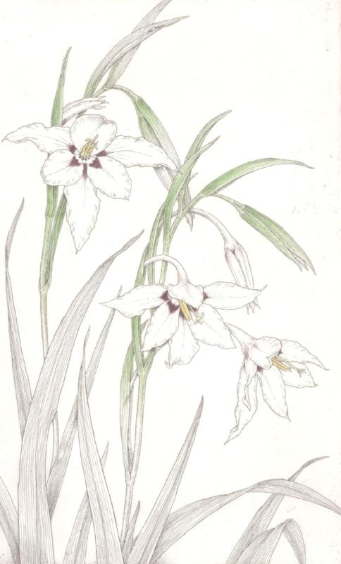 Acidanthera murilae