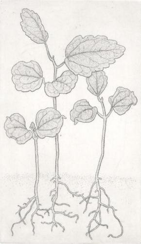 Rose of Sharon seedlings.