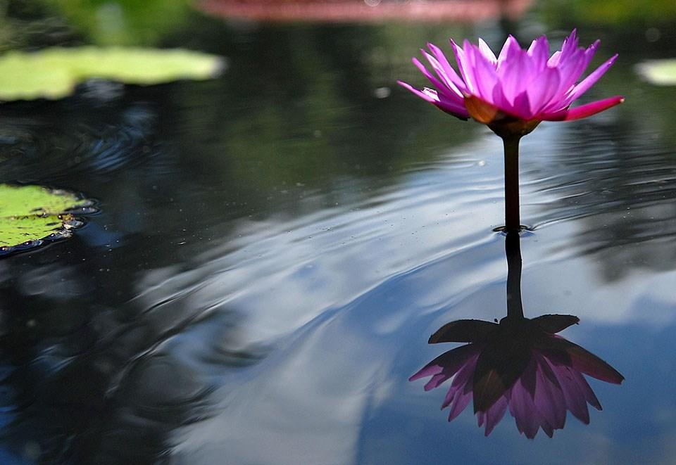 960_Kenilworth_1_waterlilies.jpg