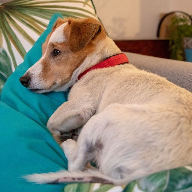 My St. Patrick's Day plan.  #dognap #seniorbaby #seniordogsrock