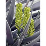 TR40037--Bremer--Succulent_8.jpg