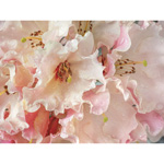 TR37688--Paulson--Rhododendron_Blossoms_in_the_Rain.jpg