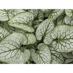 TR37713--Paulson--Brunnera_Leaves.jpg