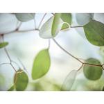 TR38745--Poinski--Soft_Leaves_1.jpg