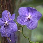 TR40027--Bremer--Purple_Orchids_2.jpg