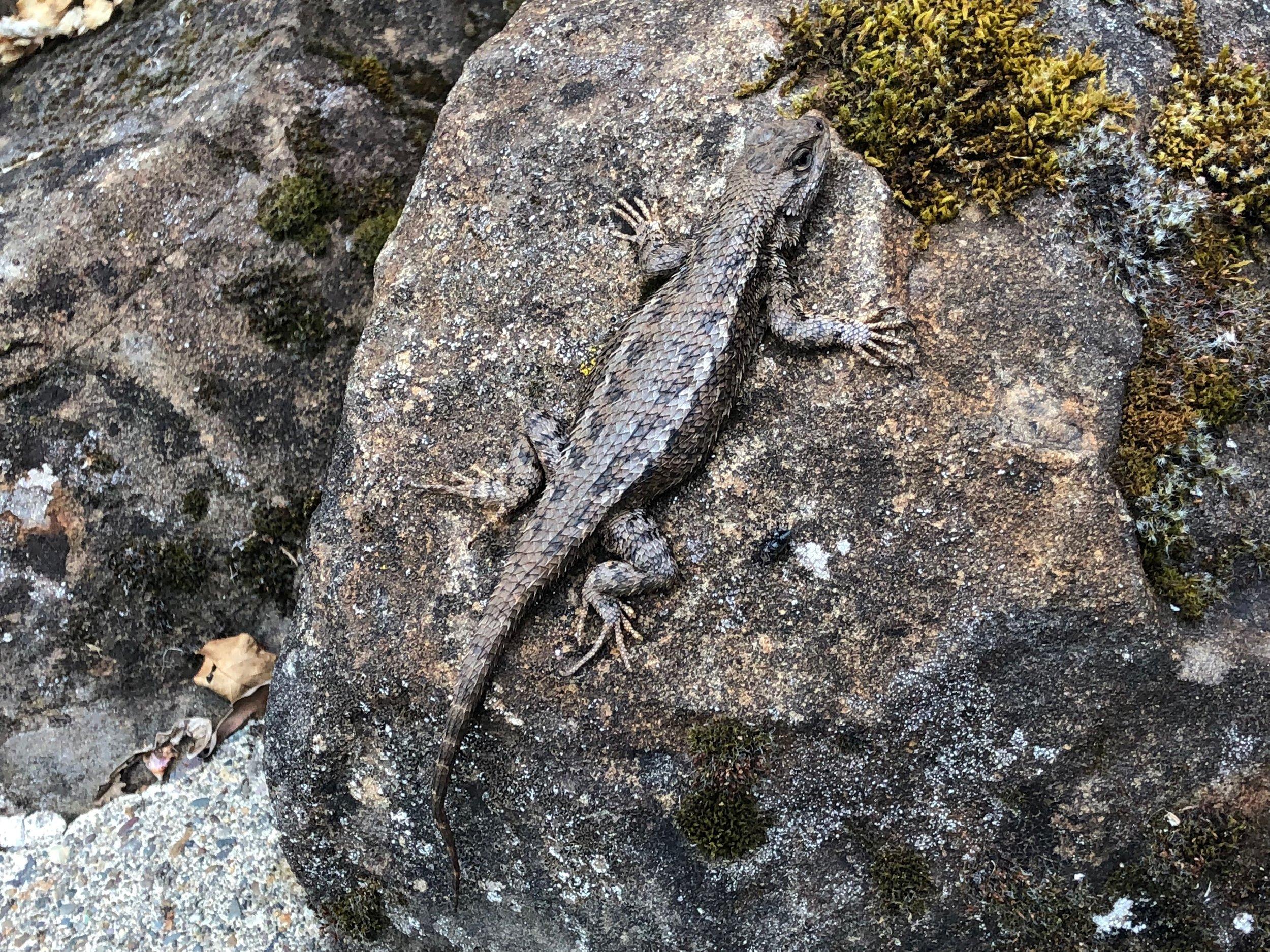A Western Fence Lizard seen all summer long on the boulders surrounding the center garden.