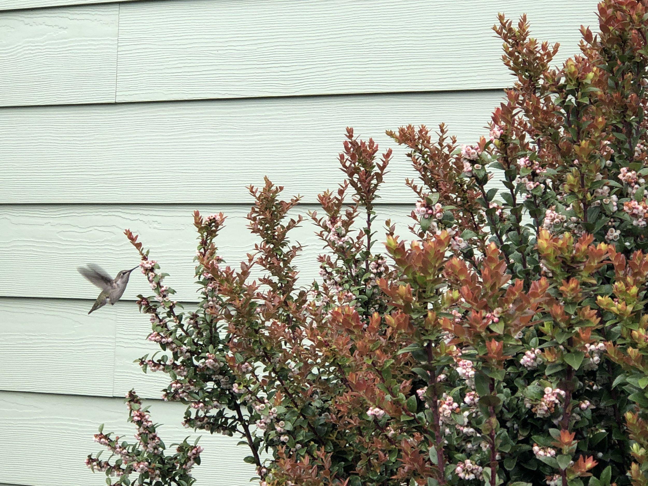 Hummingbird in the evergreen huckleberry.