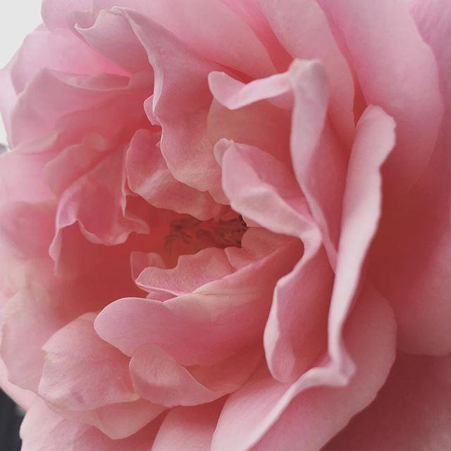 Melting in tenderness 😌 #flowers #blossom #rose #pink #tenderness #tender #flower #pinkflowers #petals #light #goodday #print #botanical #botanicalillustration #botanicalphotography