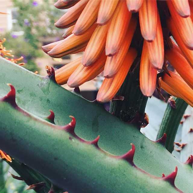 Don't they go well together? #cactus #color #orange #spikes #botanicalgardens #botanical #florals