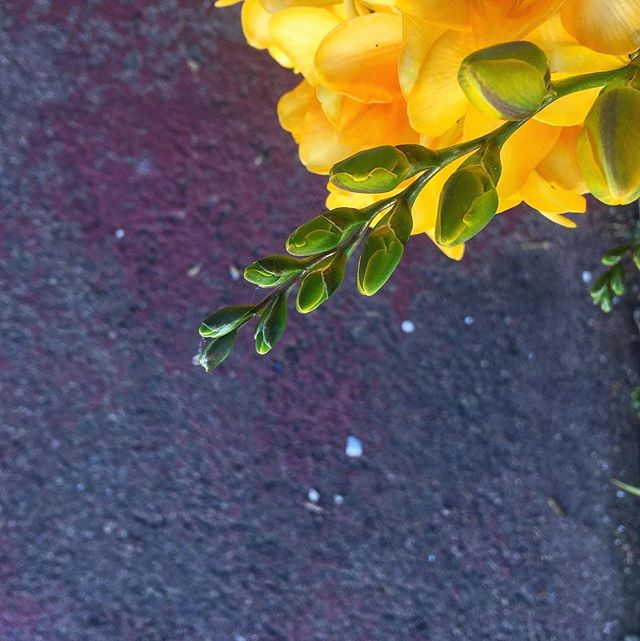 Spring is coming 🌱🌤🌼 #flowerstoeveryone  #flowers #photography #botanical #spring #green #yellow #flower #botanicalphotography #pictureoftheday #springiscoming #botanicalpickmeup #loveflowers #sfbotanicalgarden