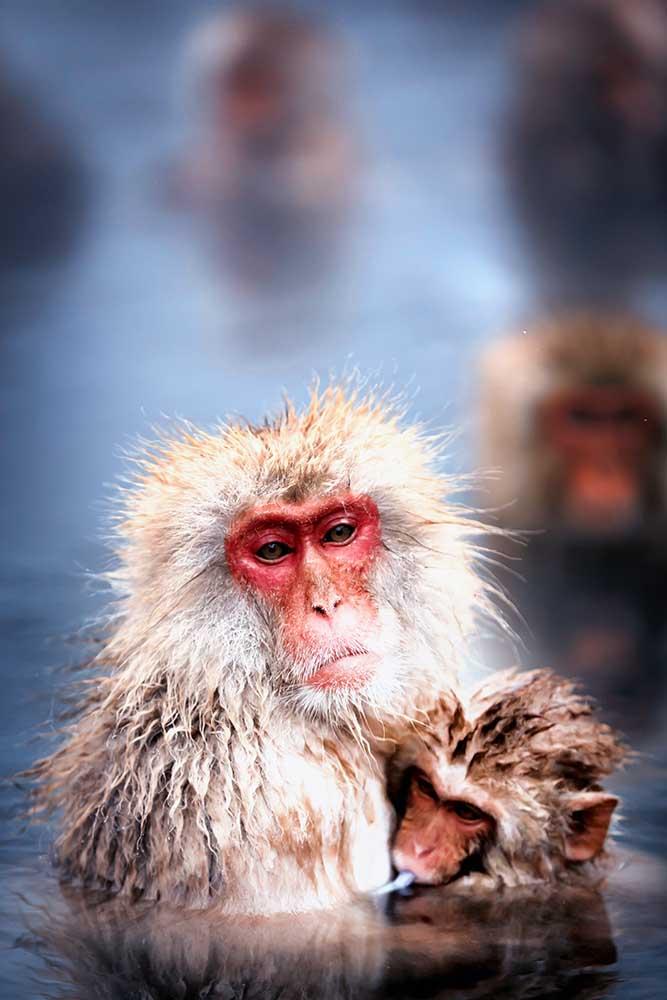 Jigokudani Park - Viaggeremo fino alla prefettura di Nagano per visitare il parco naturale famoso perché ospita più di 200 macachi in libertà.