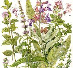 c1fa436f9dee4c49294c2e865304d0ff--herbs-illustration-botanical-illustration.jpg
