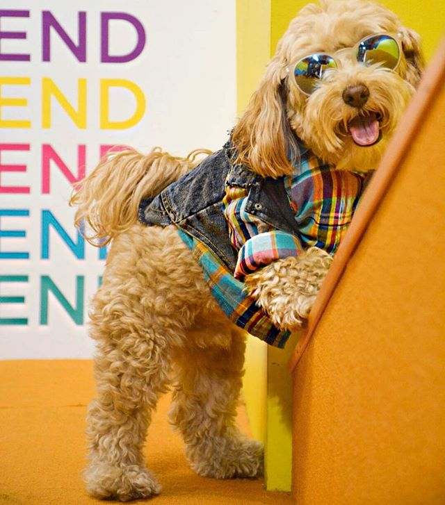 Sun's Out, Tongues Out! ☀️Who's ready for the weekend?! #humansbf . . . . . #dogsofinstagram #dogoftheday #doglove #puppylove #dog #labradoodle #goldendoodle #doodlelove #doodlesofig #doodlesofinstagram #labradoodlesofinstagram #goldendoodlesofinstagram #dailywoof
