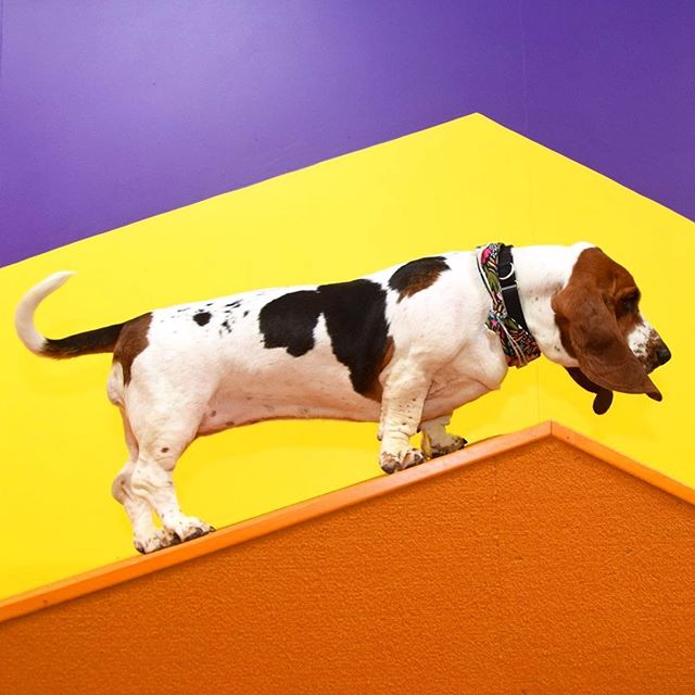 Looking back at climbing Mount Basset at @humansbf with @sallylongdog #humansbf . . . . . #dogsofinstagram #bassethound #bassetlove #dailywoof #doglove #dogoftheday #marketing #popup #tbt