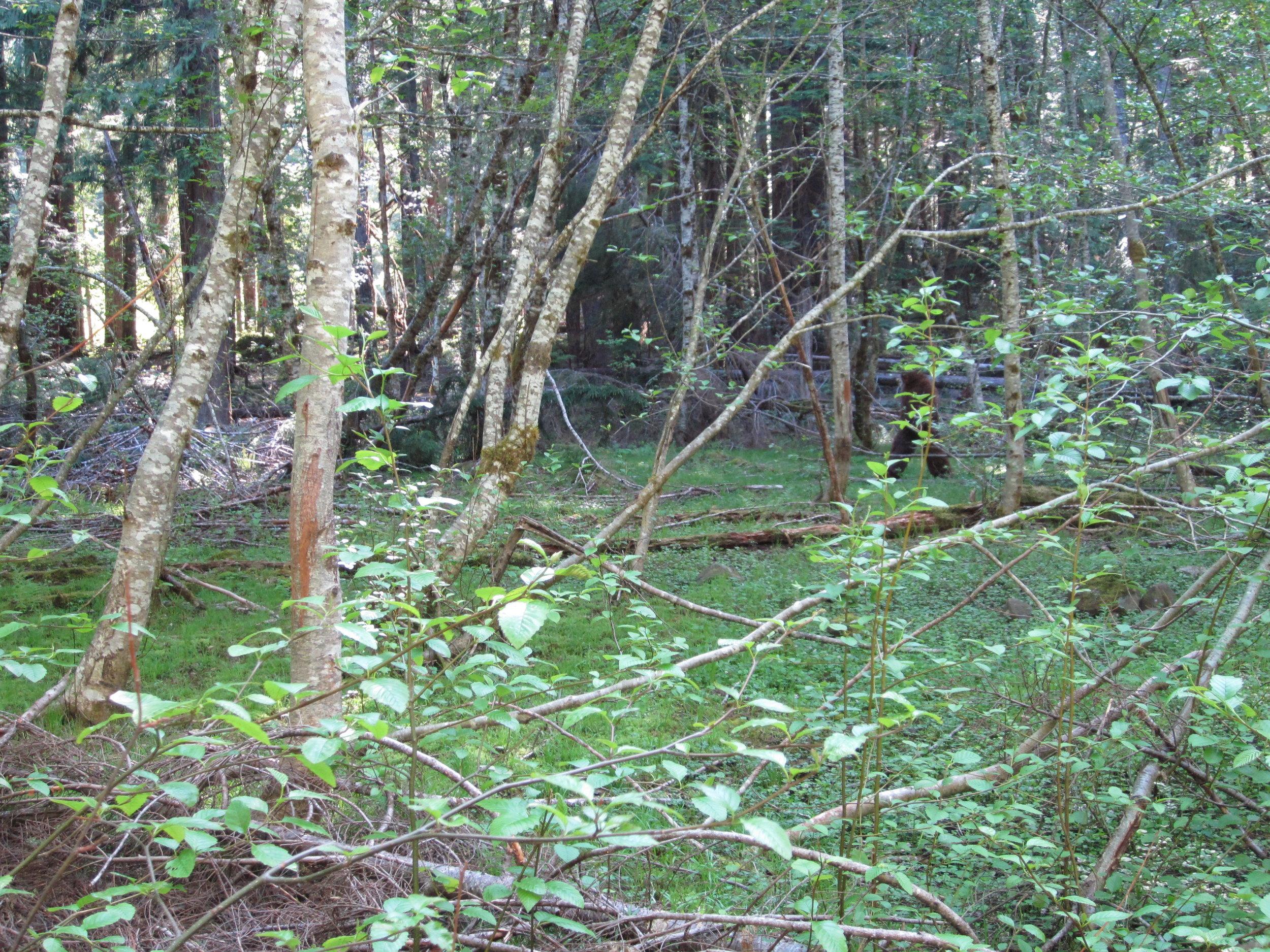 Sasquatch Sighting, Alders