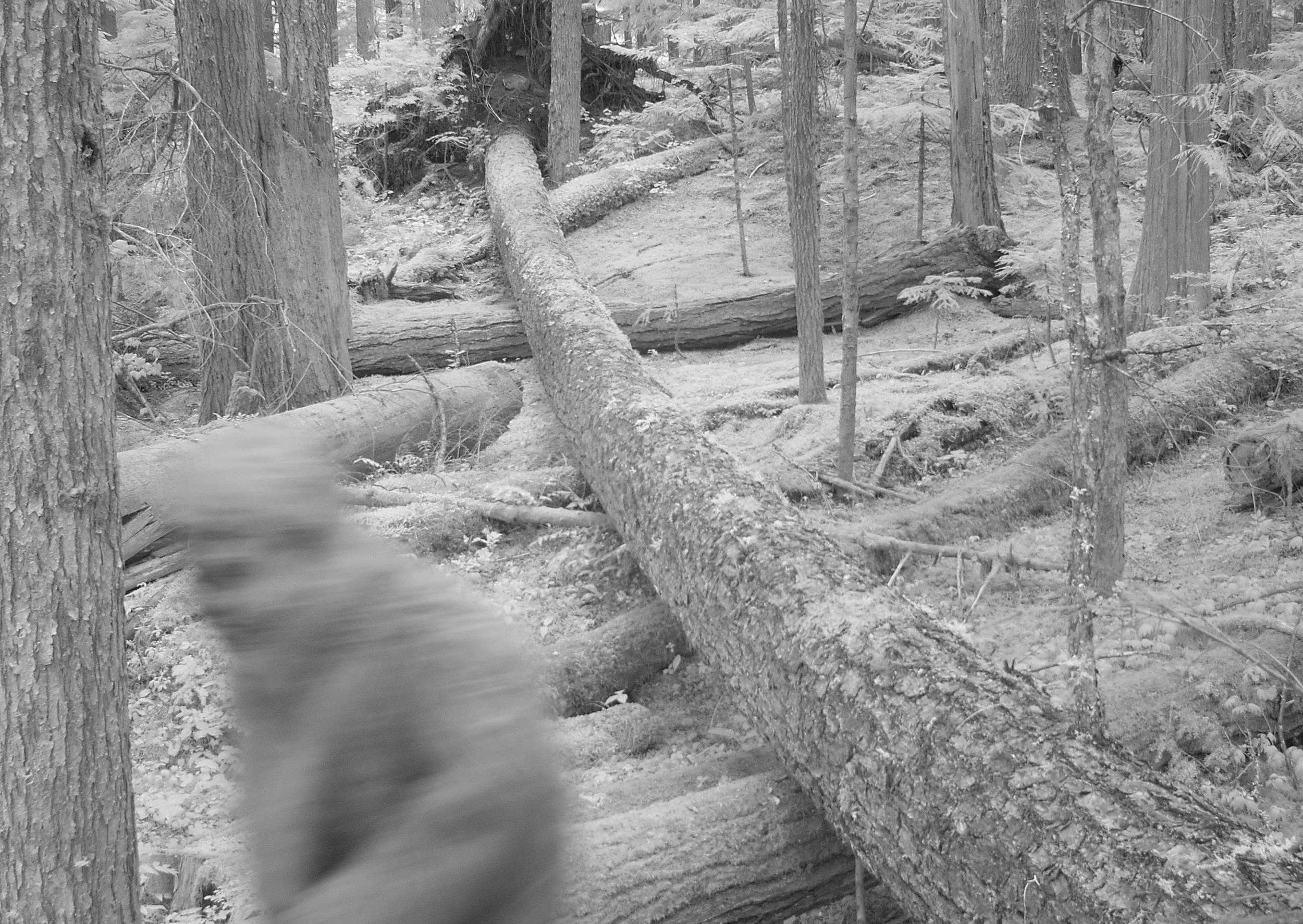 Sasquatch Sighting, Downed Log
