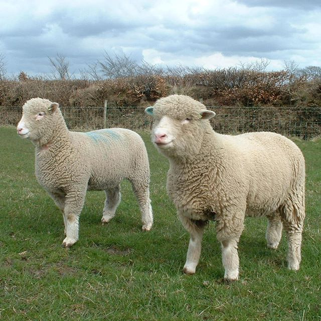 Same sire, but from different ewes. Keeping as replacements and they are waiting for the grass to grow.#polldorsets #sherbornepolldorsets