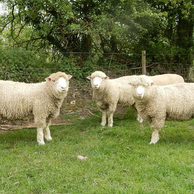 3 of the Blackdown's rams under the shade hoping for some ewes.  Available from the farm. #dorsets #pastureforlifemeat