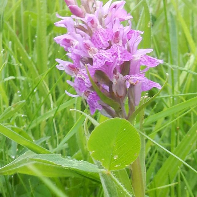 Southern Marsh Orchid - -  1 of  many near the river at Markham.