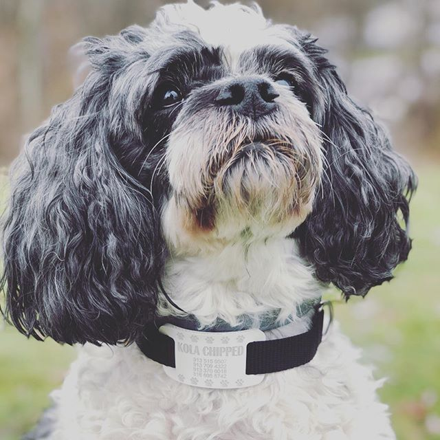 Chloe, a Lhasa poo, Lhasa apso and poodle mix looking CUTER then ever in a White DogCollarTag. All thanks to @gabczech Create your own tag today by clicking the link in our bio -  DogCollarTag.com or by visiting amazon.com under -  Expressed Impressions! Please Like and Follow for more content!!! - Photography taken by -  @tony.716 - - - - - - - - #dogsofinstagram #puppies #poodle #poodlemix #dogoftheday #outdoors #newproduct #pup #puppy #puppiesofinstagram #puppylove #doglover #doge #doggo #dogo #dogstagram #dogtags #pet #petsofinstagram #pets #animals #animallovers #cool #new #innovative
