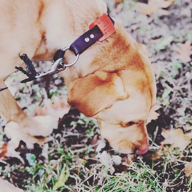 Artie, a beautiful yellow lab strutting around in an orange dogcollartag like it's no body's business!! Create your own tag today by clicking the link in our bio DogCollarTag.com or by visiting us on Amazon.com under Expressed Impressions. Photo taken by @ab.bybrown : : : : : : : #pets #dogsofinstagram #dog #doge #doggy #doggie #pet #lab #labsofinstagram #yellowlab #pup #puppy #puppies #adorable #cute #petsofinstagram #dogoftheday #cool #outdoors #newproduct