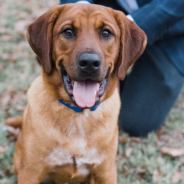 Today is our little one's birthday! Reagan is officially a 2-year-old! . . #ilovemypuppy #ilovemydog #dogsofinstagram #happybirthday #hbd #redbonecoonhound