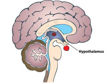 hypothalamus.jpg