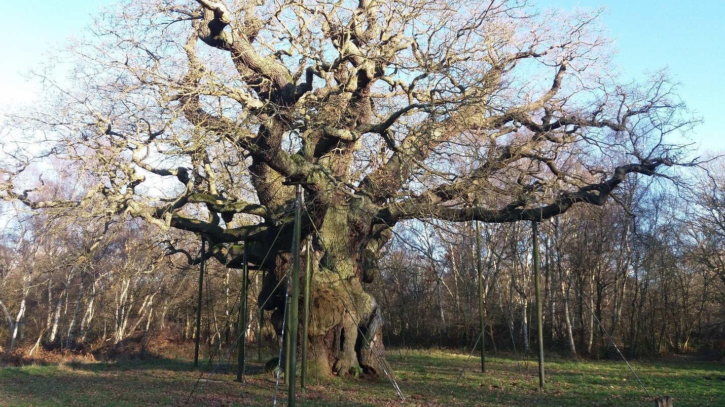 Robin Hoods Oak, Sherwood Forest, UK. Estimated to be between 800-1000 years old. Artificial props now support the heavy limbs.