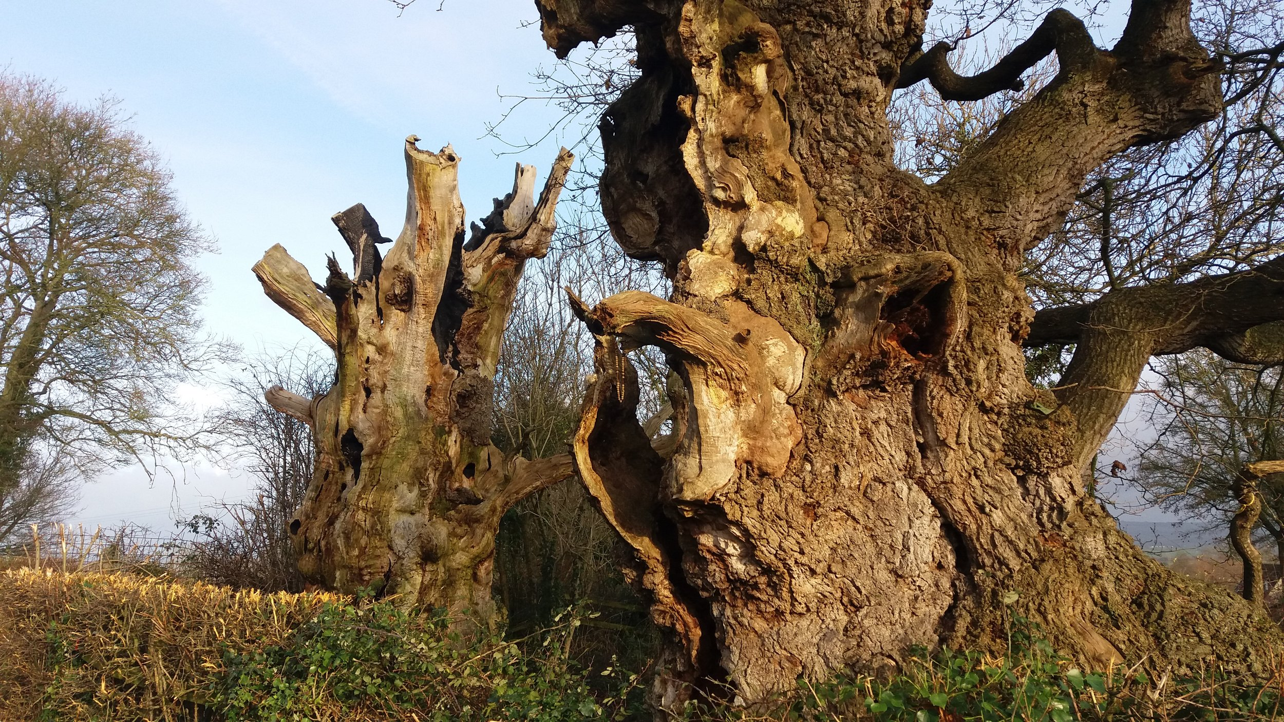 Gog and Magog (The Oaks of Avalon), Glastonbury, UK.  Thought to be circa 2000 years old.  A paradise for all manner of critters.