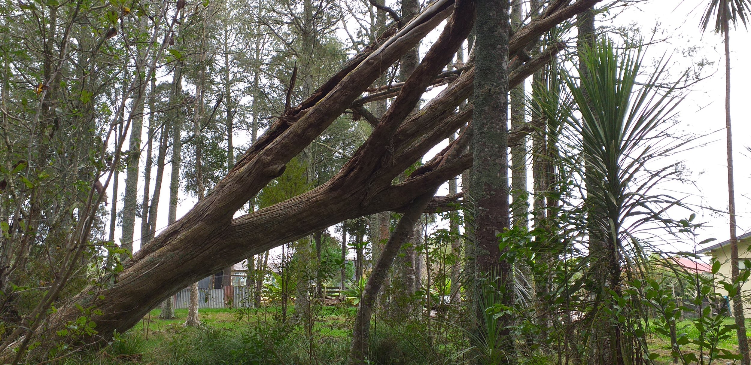 Storm damage tree Waipu 1.jpg