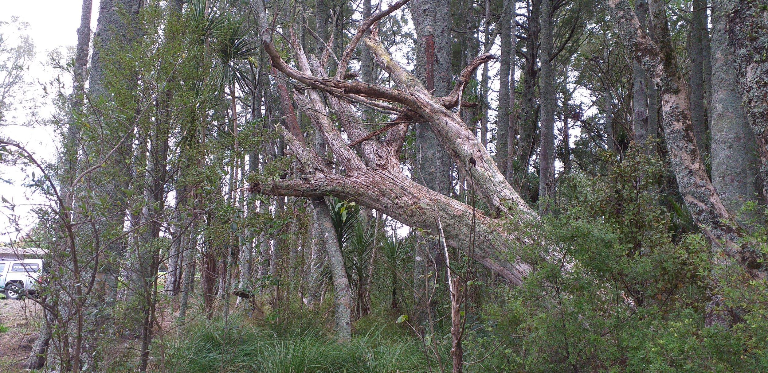 Storm damage tree Waipu 2.jpg