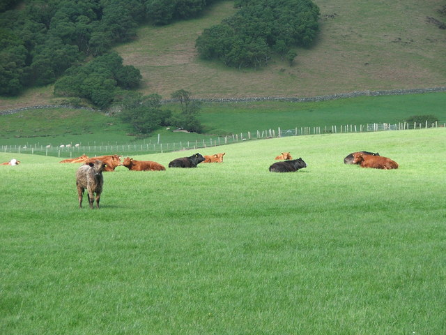Cows In Grass.jpg