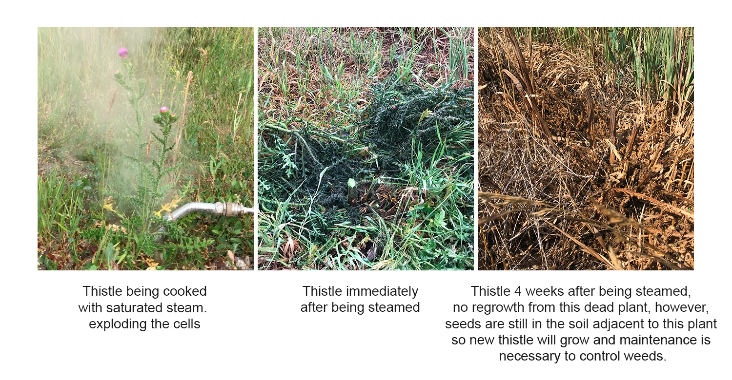 thistle before and after steamed.jpg