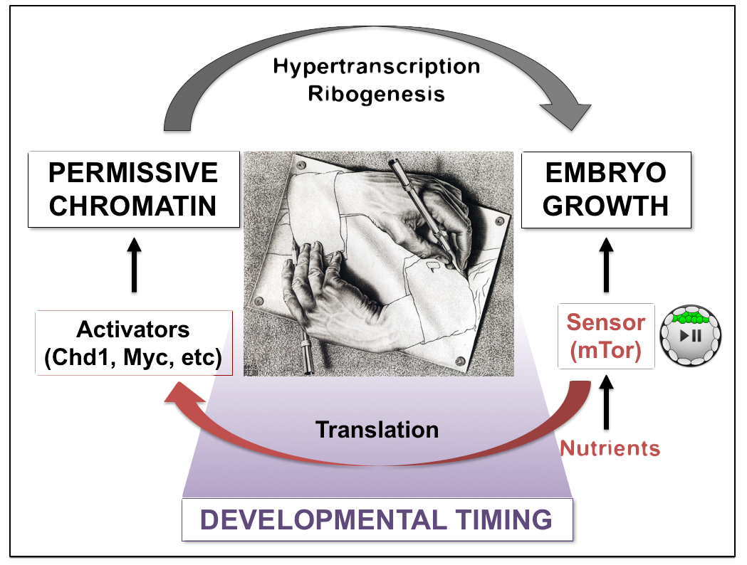 Stem cell hypertranscription