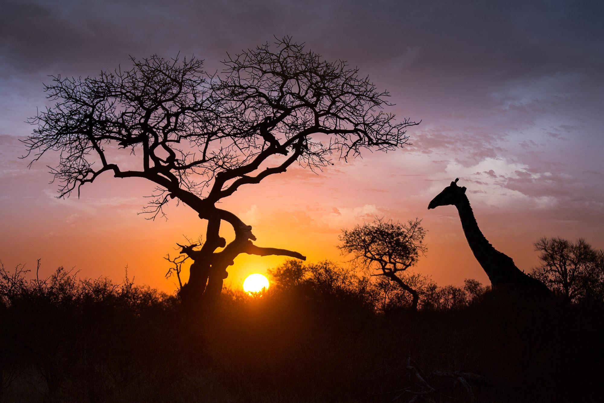 Giraffe and Tree Silhouette