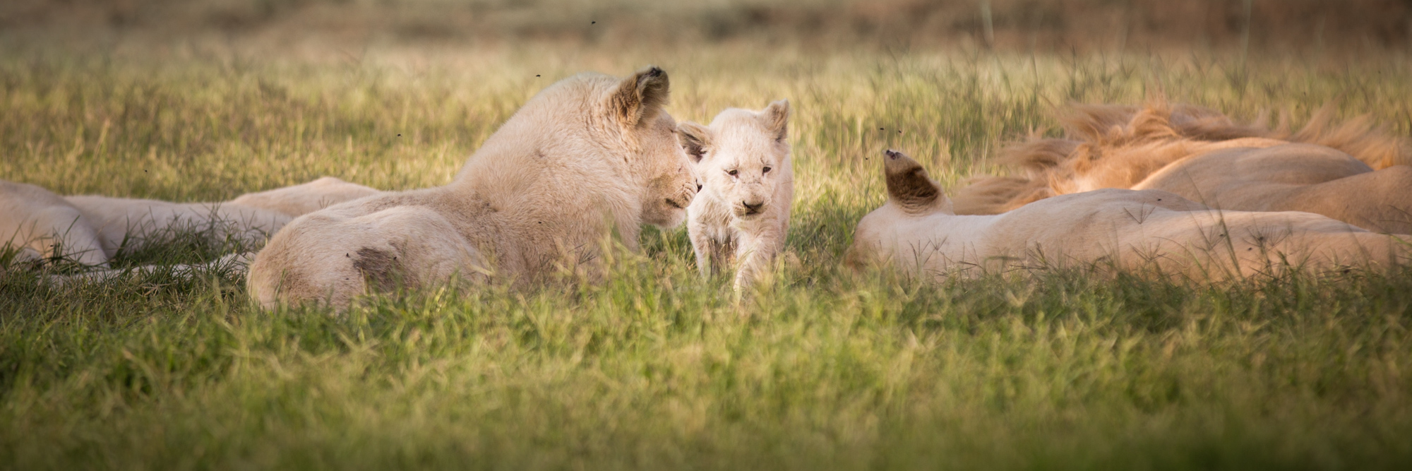Lion Family Relaxing