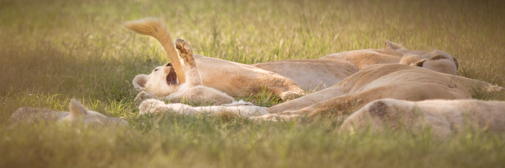 Lion Family Playing