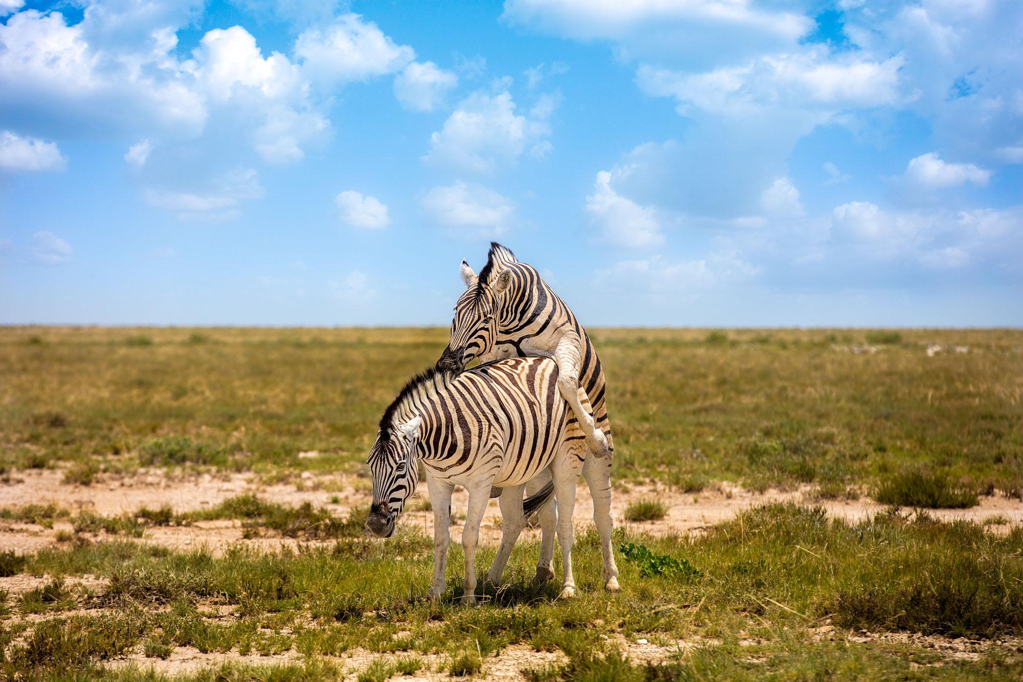Zebra Playing