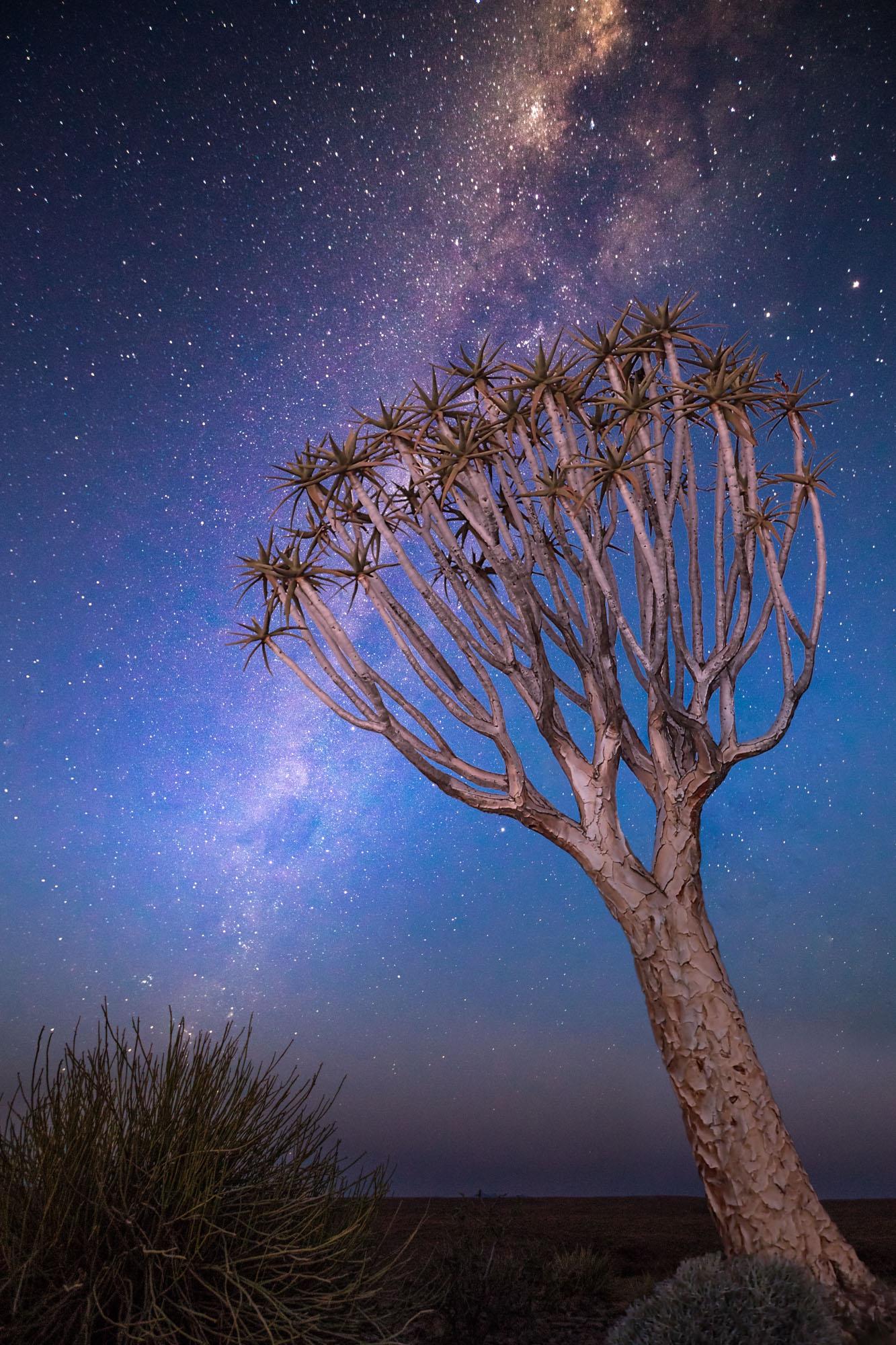 Quiver Tree At Night
