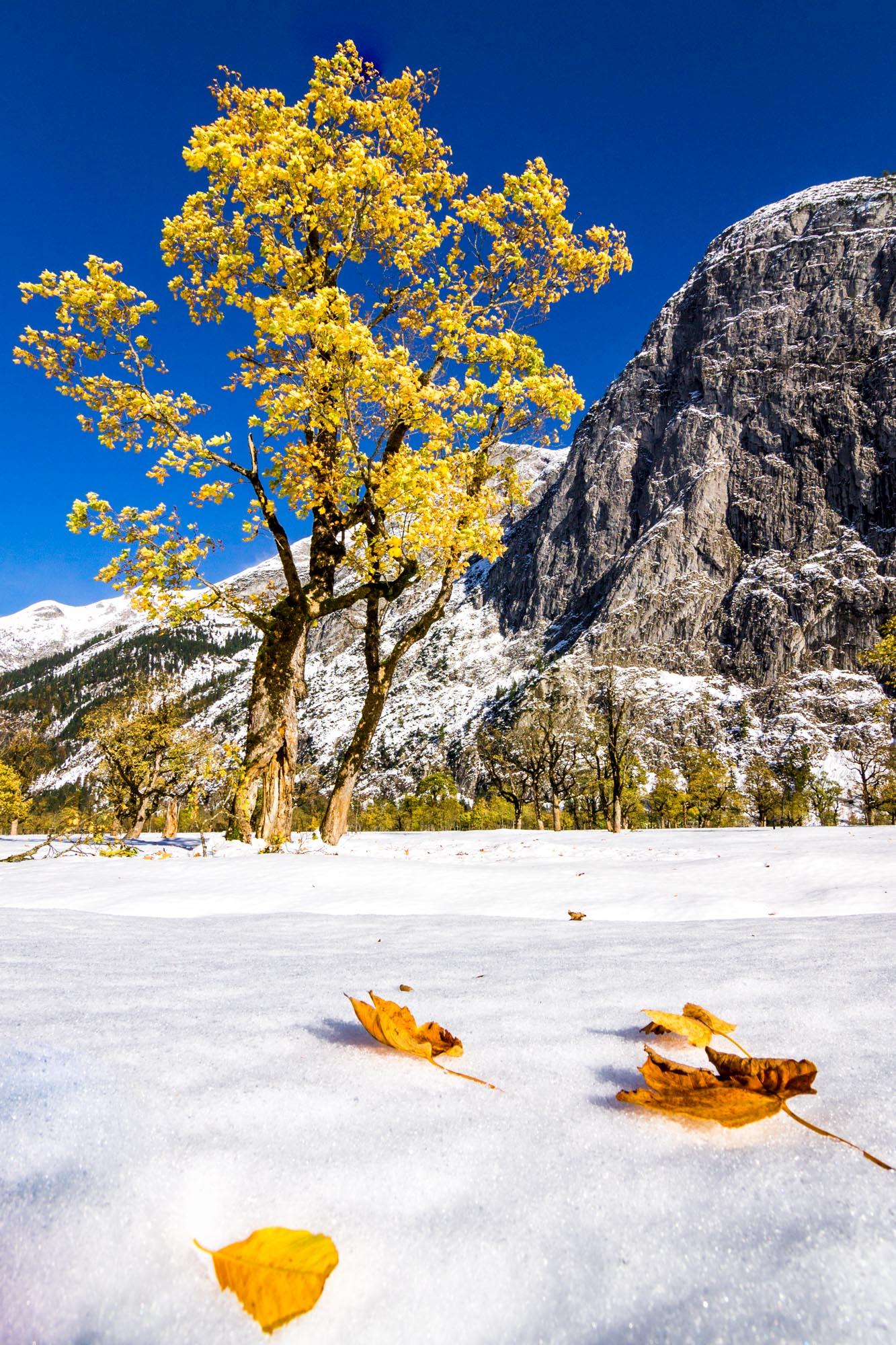 Winter Maple II