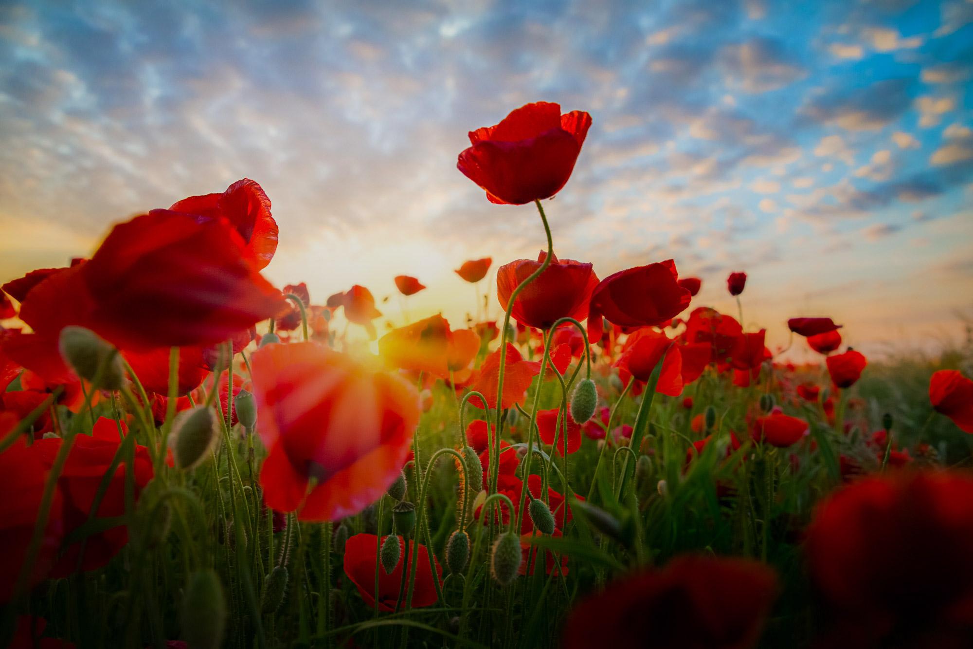 Poppies Morning