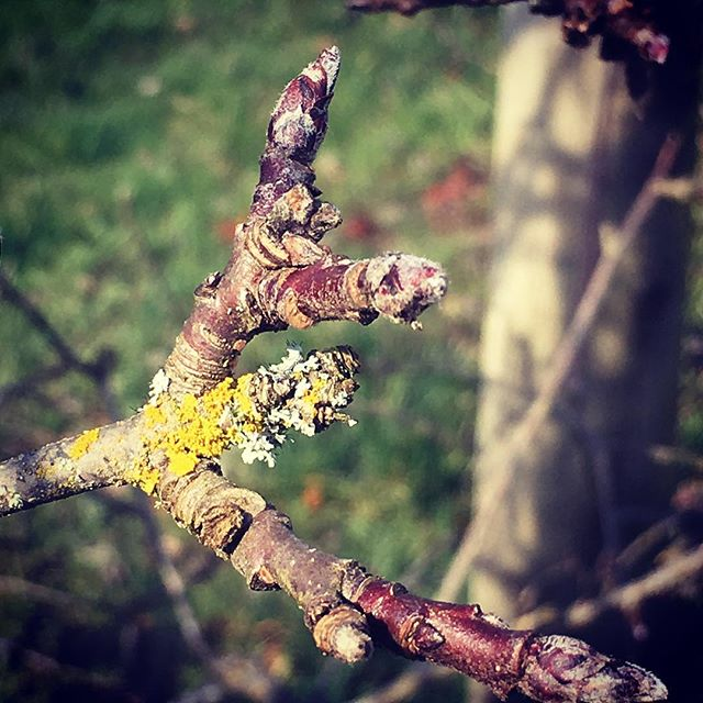Before they're blooms, way before they're apples it's all there in the bud. #heirloomapples #queenerfarm #winteronthefarm #dormantbuds #applesofthefuture