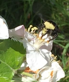 Bumble bee face.jpg